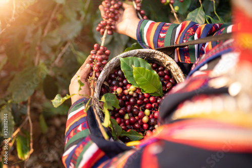 Photo Akha woman picking red coffee beans on bouquet on tree arabica coffee berries on its branch,economy industry business, health food and lifestyle, at the north of Thailand