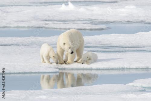 Tela Wild polar bear (Ursus maritimus) mother and cub on the pack ice