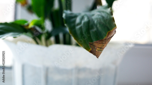 Withered tip of a green leaf of a potted flower Canvas Print