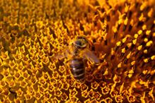 Honey Bee Pollinating Flower. ...