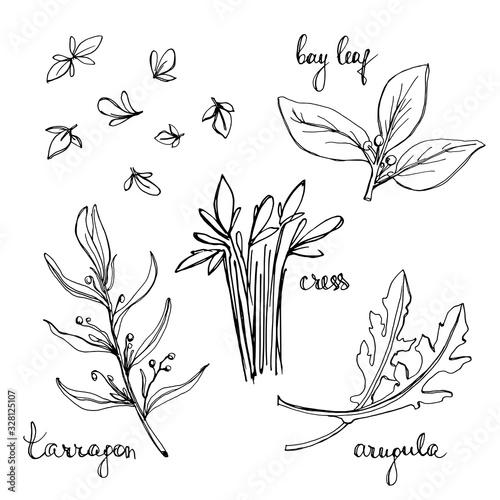 Photo Arugula, cress, bay leaf, tarragon sketches