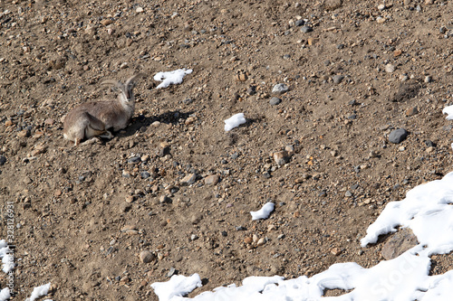 Photo Male Blue sheep in the mountains of Spiti valley, Himachal Pradesh, India