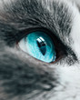 Lovely funny Snowshoe breed cats face. Blue eye macro view. Curious animal portrait close up..