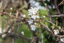 White Wild Plum Blossoms Bloom And Blossom