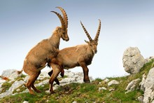 Alpine Ibex - Capra Ibex Pastu...