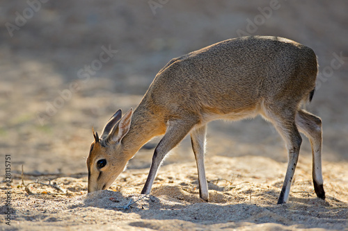 canvas print motiv - EcoView : Feeding common duiker antelope (Sylvicapra grimmia), Kruger National Park, South Africa.