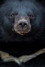 Close Up Of Asian Black Bear