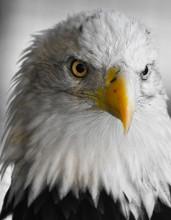 Captive Bald Eagle Partial Black And White