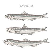 Anchovies. Seafood Design Elem...