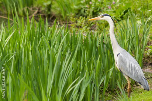 Photo Great blue heron standing still next to a riverbank