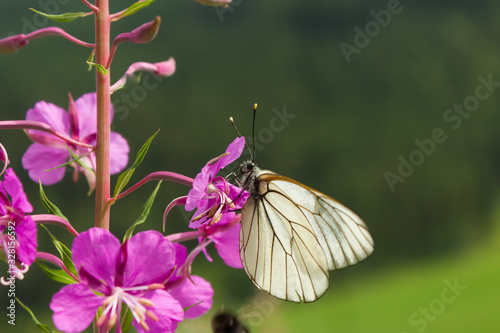 Black-veined white butterfly sitting on a dwarf Alpenrose in wild nature Canvas Print