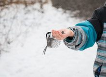 Close Up Of Chickadee Bird Eating Seeds From A Child's Hand In Winter.