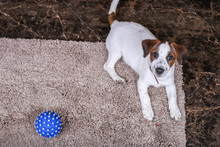 Dog Jack Russell With Ball On A Beige Carpet. Puppy. Mockup With Copy Space Place For Text. Top View. Playful Dog With A Funny Face