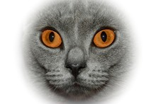 Amber Eyes Of A Cat, Close-up With Bright Border