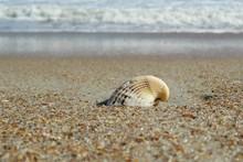 Ocean Seashell On Florida Beach