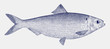 Female blueback herring or shad, alosa aestivalis, a threatened fish from the east coast of North America in side view
