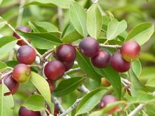 Vitamin C Rich Fruit, Camu Cam...