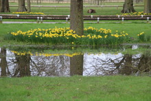Daffodils Reflecting In Puddle...