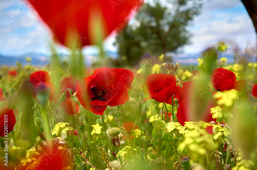 Photo closed plane of some poppies agitated by the wind with an unfocused background o