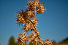 Detail Of A Dry Set Of Prickly...