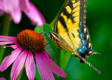 The Eastern Tiger Swallowtail Butterfly (Papilio Glaucus) Is Common In Eastern N. America But Uncommon In Its Beauty.  This Butterfly Is Feeding On Purple Coneflower. (Echinacea Purpurea)  Close-up.