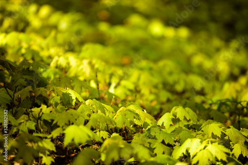 Photo Small seedling maples cover the forest floor