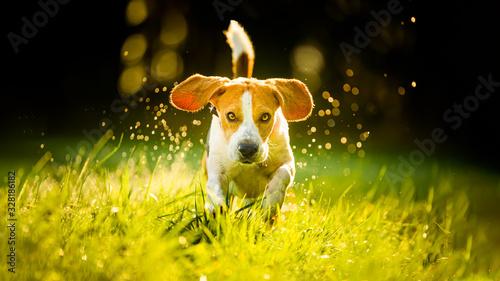 Fotografia Dog Beagle running fast and jumping with tongue out through green grass field in