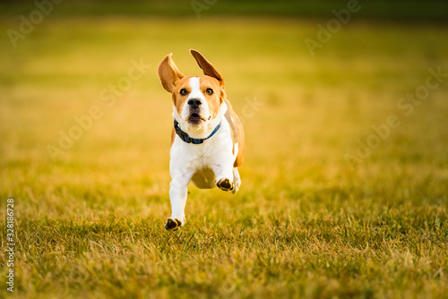 Dog Beagle running fast and jumping with tongue out through green grass field in Canvas Print