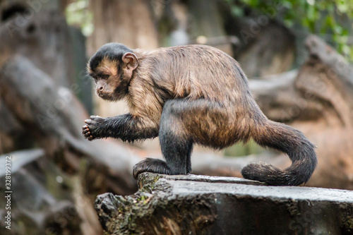 Fotografie, Tablou Capuchin Monkey, Tufted Capuchin, South America Primate Wild Animal