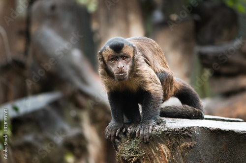 Fotografering Capuchin Monkey, Tufted Capuchin, South America Primate Wild Animal