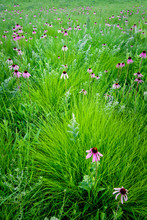 A Cluster Of Prairie Dropseed Grasses Is Punctuated By Blooming Puple Coneflowers On A Restored Midwest Prairie.