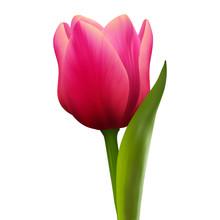 Single Tulip Flower On White B...
