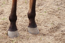 Back Legs Of Brown Horse And Light Brown Ground.