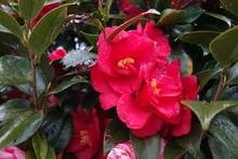 雨の日の濡れた椿の花