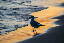 Beautiful Young Seagull On The...