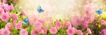 Pink Rose Flower And Flying Bl...