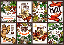 Sketch Vector Design Templates With Herbs And Spices, Hand Drawn Illustration Of Ginger, Rosemary, Mint, Vanilla, Cinnamon, Chili Pepper. Set Of Colorful Cards And Posters With Botanical And Floral