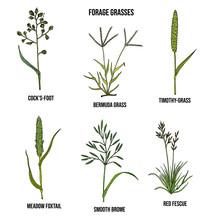 Forage Grasses Vector Set