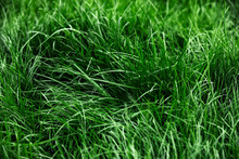 Natural Tall Green Grass Background, Fresh Lawn Top View