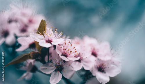 Obraz Closeup of spring blossom flower on dark bokeh background. Macro cherry blossom tree branch - fototapety do salonu