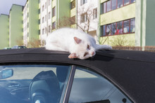 Silver BMW Cabriolet With Sleeping Cat On The Car Roof.