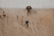 Pheasant Bird Hiding From A Hu...
