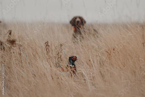 Fototapeta pheasant bird hiding from a hunting dog