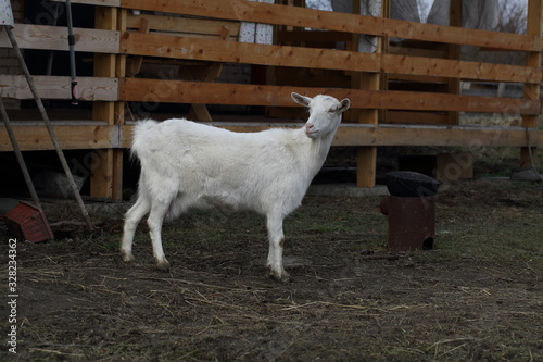 White goat on the street Canvas Print