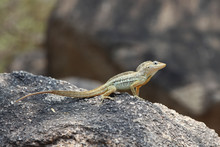 Anolis Lineatus Or Striped Ano...