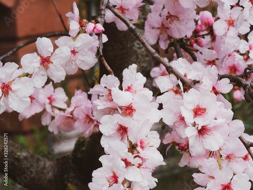 Prunus dulcis  | Almond tree with white and pale pink blossoms in South Germany Canvas Print