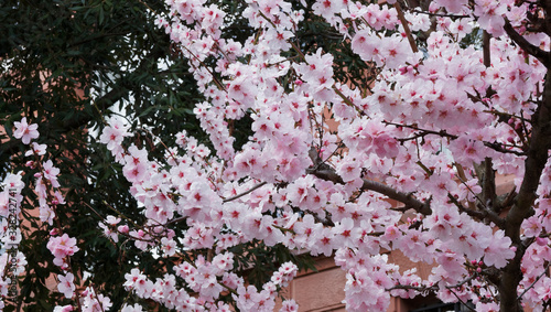 (Prunus dulcis) Beautiful almond blossoms tree in early spring Wallpaper Mural