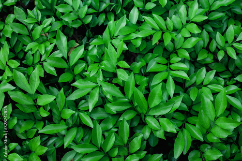 closeup nature view of green leaf texture, dark wallpaper concept, nature background, tropical leaf - 328242925