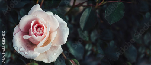 Photo Fine art image of beautiful pastel roses in dark garden
