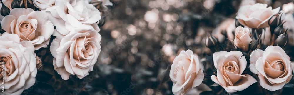 Fototapeta Fine art image of beautiful pastel roses in garden.